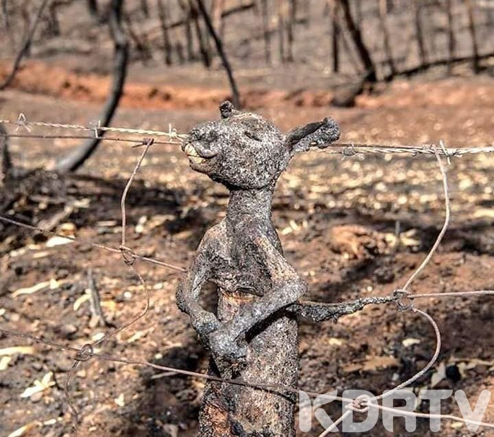 Kangaroo roasted a life with raging fire
