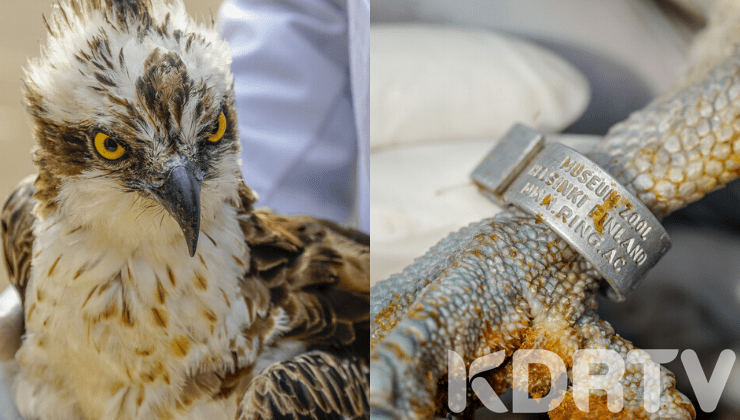 Osprey Bird Flew 6948KMs From Finland To Kenya Before Dying Under KWS Care